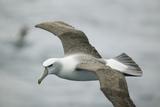 White-Capped, or Shy Albatross, in Flight Reproduction photographique par  DLILLC