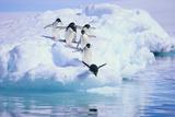 Adelie Penguin Lámina fotográfica por  DLILLC