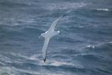 Wandering Albatross Reproduction photographique par  DLILLC