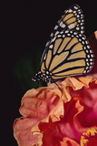 Monarch Butterfly Fotografisk tryk af  DLILLC