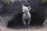 Spotted Hyenas Looking out from Den Lámina fotográfica por  DLILLC