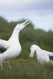 Wandering Albatross Performing Courtship Display Reproduction photographique par  DLILLC
