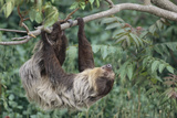 Two-Toed Tree Sloth Hanging from Tree Fotografisk tryk af  DLILLC