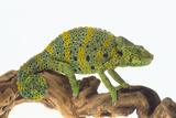 Meller'schameleon Fotografisk trykk av  DLILLC
