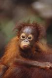 Orangutan Baby on Parent's Back Fotografie-Druck von  DLILLC