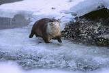 River Otter on Icy Riverbank Fotografisk tryk af  DLILLC
