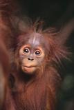 Orangutan Baby Fotografisk tryk af  DLILLC