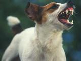 Jack Russell Terrier Barking Lámina fotográfica por  DLILLC
