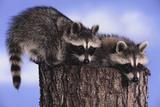 Two Raccoons Fotografisk trykk av  DLILLC