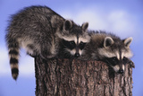 Two Raccoons Photographic Print by  DLILLC