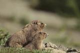Olympic Marmots Fotografisk tryk af  DLILLC