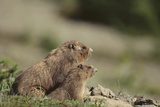 Olympic Marmots Photographic Print by  DLILLC