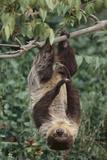 Two-Toed Tree Sloth Hanging from Tree Lámina fotográfica por  DLILLC