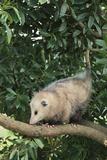 Opossum in Tree Lámina fotográfica por  DLILLC