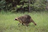 Raccoon Fotografisk trykk av  DLILLC