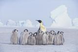 Emperor Penguin Guarding Young Fotografie-Druck von  DLILLC