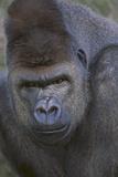 Gorilla Photographic Print by  DLILLC