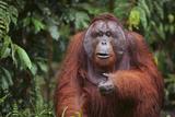 Orangutan Lámina fotográfica por  DLILLC