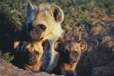 Young Hyenas in Den Lámina fotográfica por  DLILLC