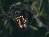 Snarling Black Panther Fotografisk tryk af  DLILLC