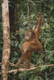 Young Orangutan in the Trees Lámina fotográfica por  DLILLC