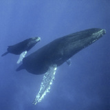 Humpback Mother and Calf Fotografisk trykk av  DLILLC