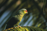 Red-Lored Parrot Stampa fotografica di  DLILLC
