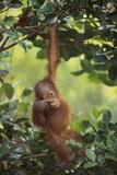 Orangutan Impressão fotográfica por  DLILLC