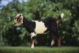 Nubian Goat Fotografisk tryk af  DLILLC