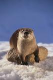 River Otter Fotografisk tryk af  DLILLC