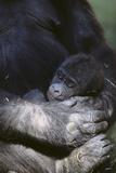 Gorilla Fotografie-Druck von  DLILLC