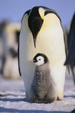 Emperor Penguin and Baby Fotografie-Druck von  DLILLC