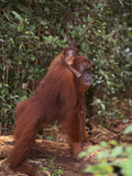 Orangutan and Baby in the Forest Reproduction photographique par  DLILLC
