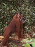 Orangutan and Baby in the Forest Fotografisk trykk av  DLILLC