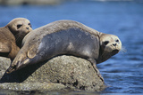 Harbor Seals with Molting Fur Fotografie-Druck von  DLILLC
