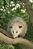 Opossum in Tree Fotografie-Druck von  DLILLC