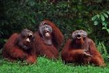 Orangutans Laughing Fotografie-Druck von  DLILLC