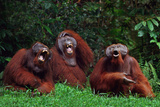 Orangutans Laughing Lámina fotográfica por  DLILLC