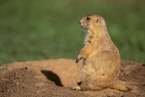 Black-Tailed Prairie Dog Photographic Print by  DLILLC