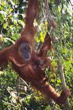 Orangutan and Baby Swinging in the Trees Lámina fotográfica por  DLILLC