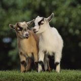 Pygmy Goats Fotografisk trykk av  DLILLC