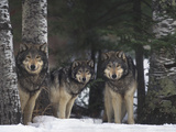 Gray Wolves in Forest Fotografie-Druck von  DLILLC