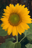 Sunflower Fotoprint av  DLILLC