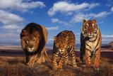 Lion, Jaguar, and Tiger Fotografisk tryk af  DLILLC