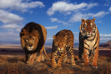 Lion, Jaguar, and Tiger Photographic Print by  DLILLC