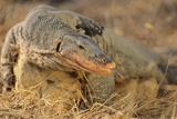Monitor Lizard Reproduction photographique par  DLILLC