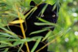 Black Panther Premium fototryk af  DLILLC