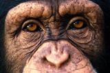 Chimpanzee's Eyes Lámina fotográfica por  DLILLC