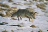 Coyote Leaping on Vole in Snow Fotografie-Druck von  DLILLC