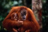 Mother Holding Baby Orangutan Lámina fotográfica por  DLILLC